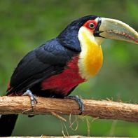 Red-breasted Toucan (Ramphastos dicolorus) adult, perched on branch, Pantanal, Mato Grosso, Brazil